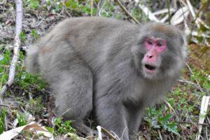 猿ドンが危ない